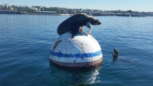 Sea lion on top of buoy greets another lion